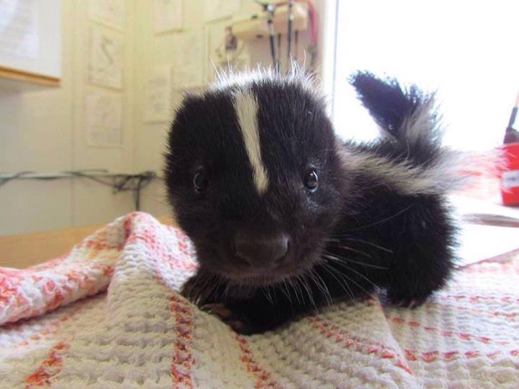 a baby skunk paws and awws baby skunk cute animals