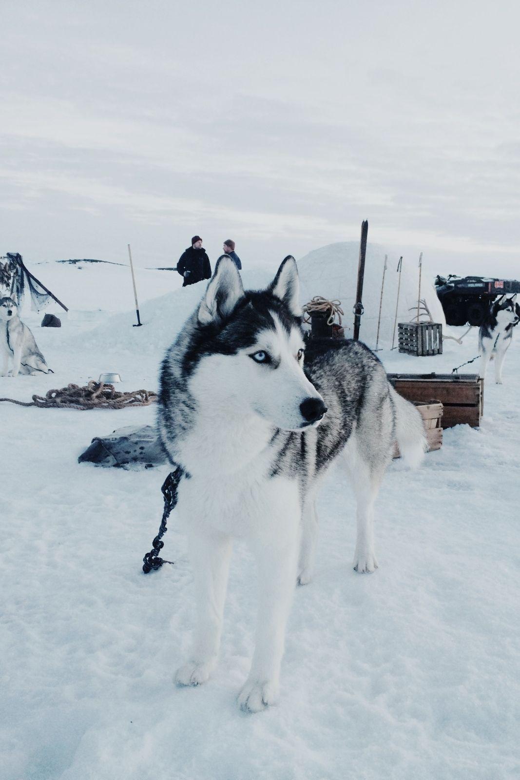 Husky In 2020 Husky Welpen Sibirische Huskies Husky Hund