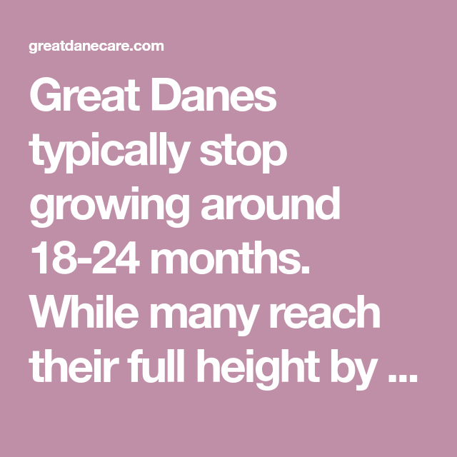 Great Danes Typically Stop Growing Around 18 24 Months While Many Reach Their Full Height By 18 Months Most Take Until 2 Years To Fill