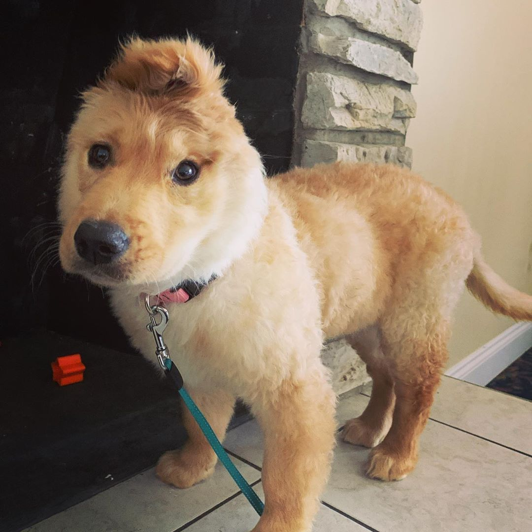 Rae A Golden Retriever And Unicorn Puppy Is The Adorable Story