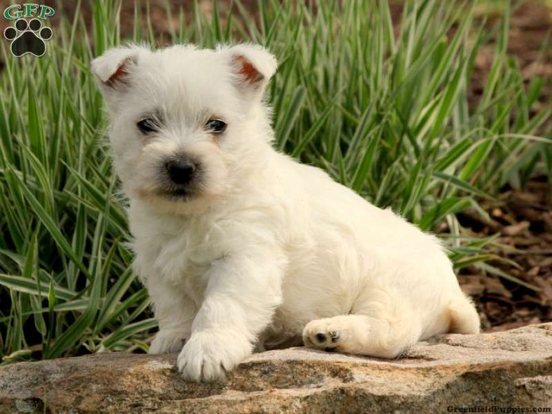 Carly A Sweet Little Westie Puppy For Sale From Millersburg Pa
