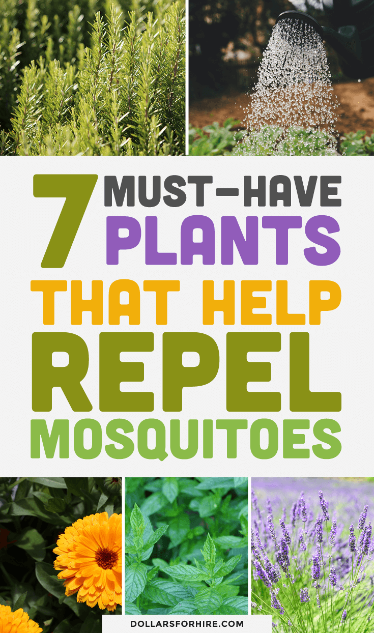 7 Must-Have Plants That Help Repel Mosquitoes (With images ...