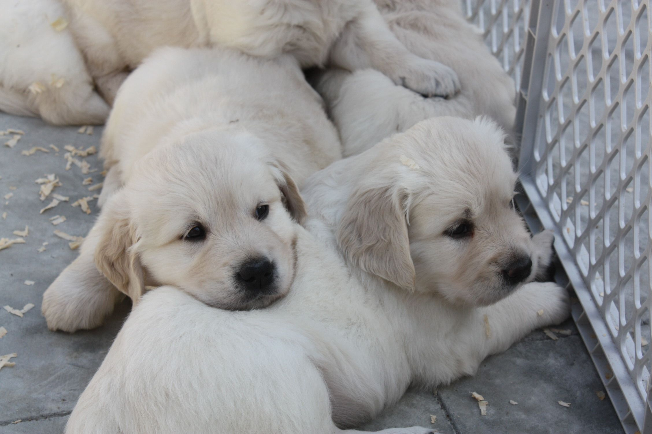 White Sand Golden Retriever Puppies For Sale English British