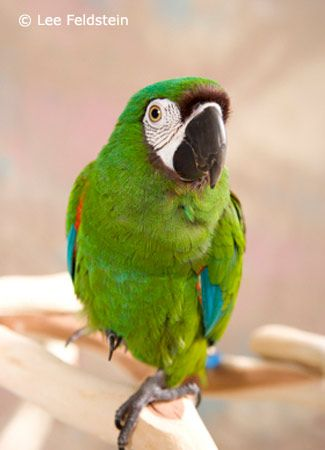 Severe Macaw Chestnut Fronted Macaw Severe Macaw Parrot Pet Pet Birds