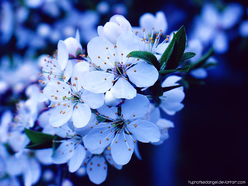 Bluetiful Blue Cherry Cherry Blossom Art Cherry Flower