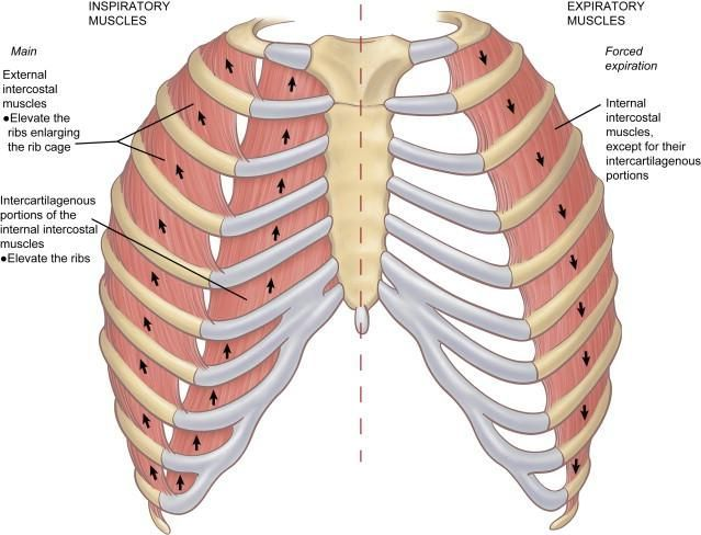 Atrophy Of Intercostal Muscles Yahoo Image Search Results Human