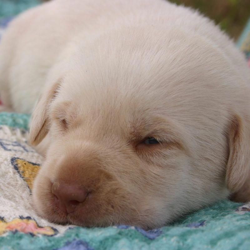 Newborn Labrador Puppies Puppies At 2 Weeks Old Eyes Opened