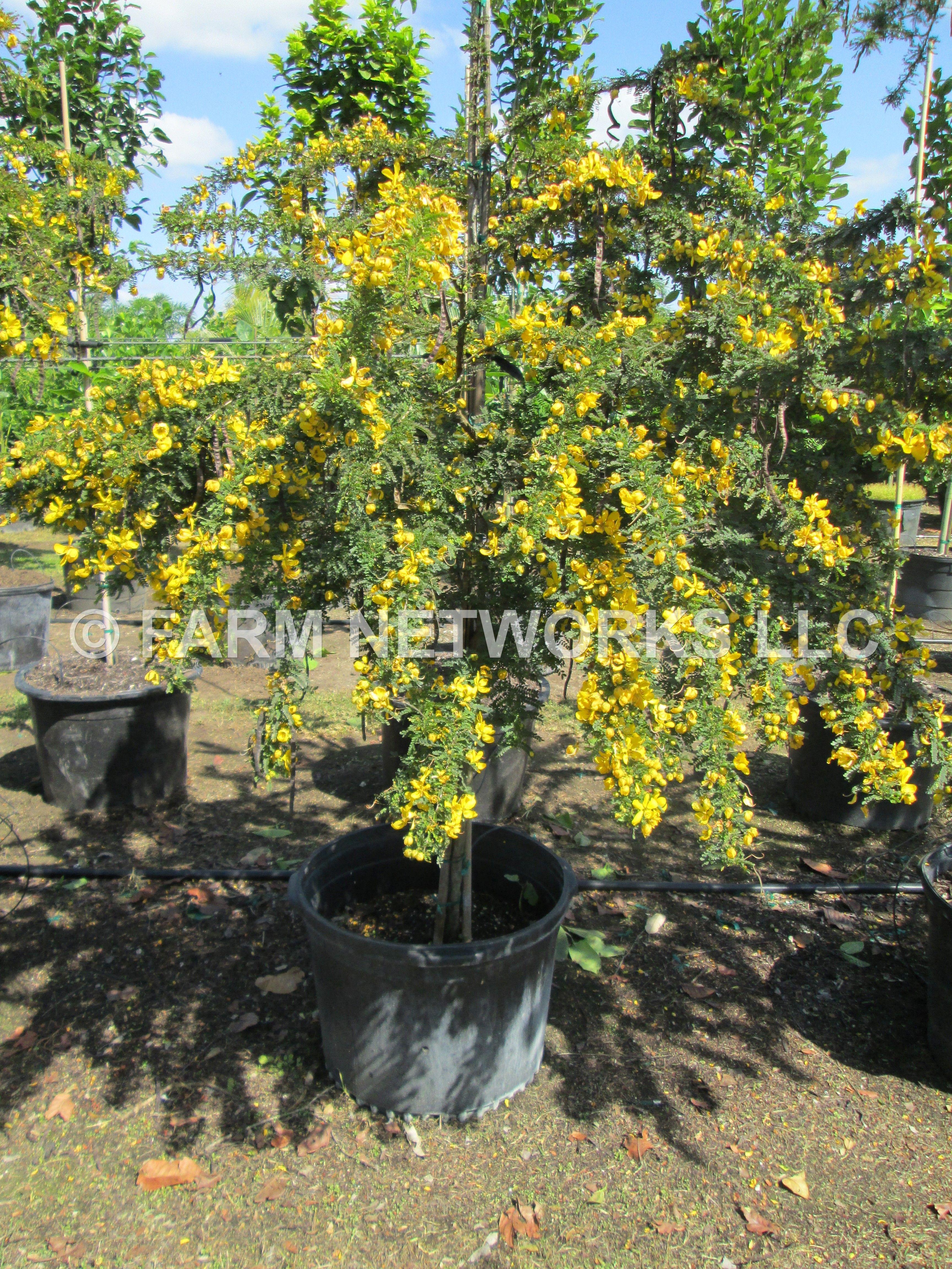 Cassia Polyphylla Desert Cassia Florida Trees Backyard