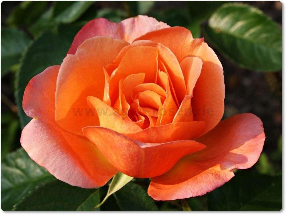 Tea Rose.
