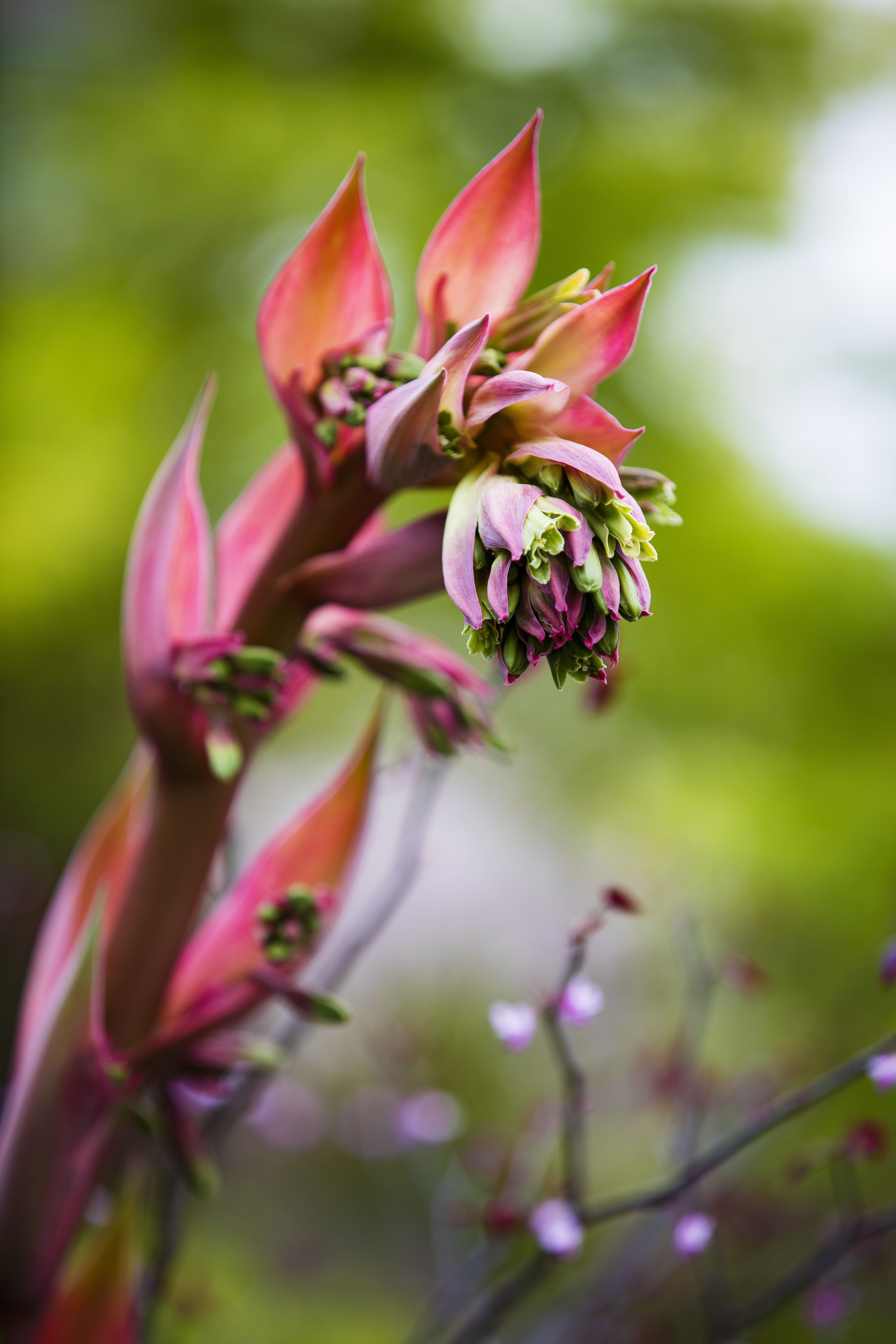A Vibrant Red Mexican Fire Lily Growing In A Lush Restored Inner