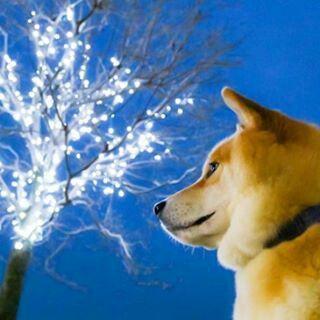 柴犬 Shiba Inu 3 Lisa Twinkle Twinkle 街中がキラキラしてきたね ねぇ来週の日曜日何してる C Lisa Shiba Inu Shiba Inu Puppy Puppies