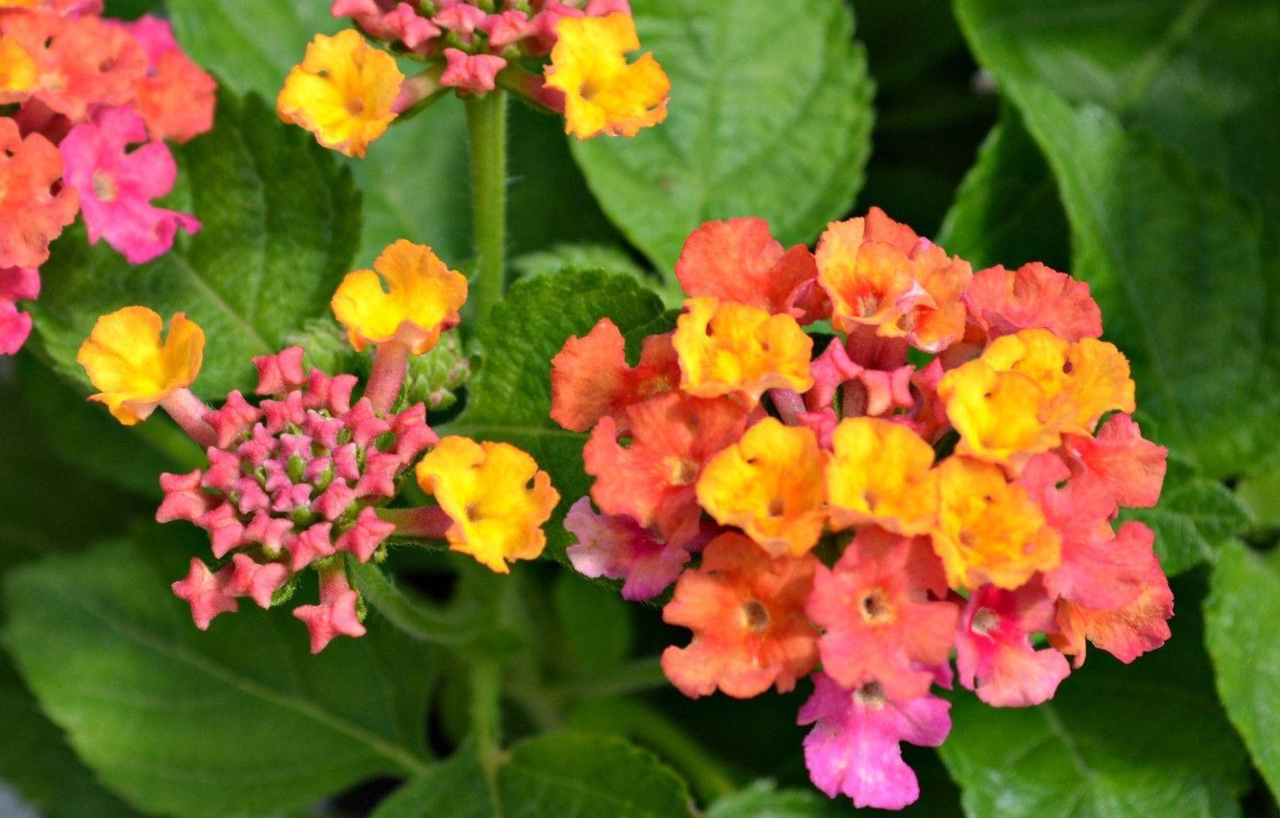 Lantana Camara Miss Huff Can Be Perennial Here Garden