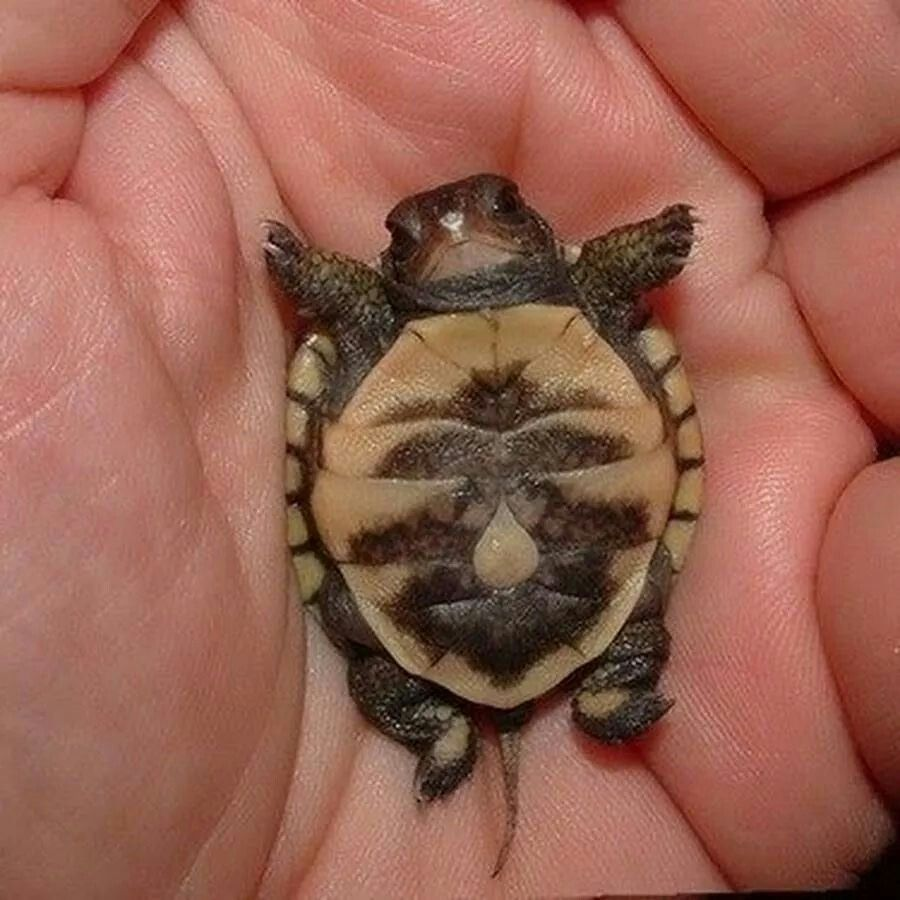 belly up baby turtle