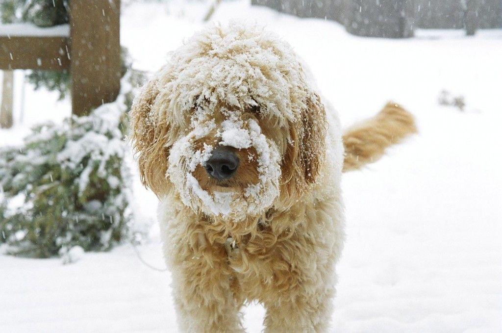 Goldendoodle Puppies For Sale Minneapolis St Paul Red Cedar Farm Goldendoodles In 2020 Goldendoodle Puppy For Sale Goldendoodle Goldendoodle Puppy