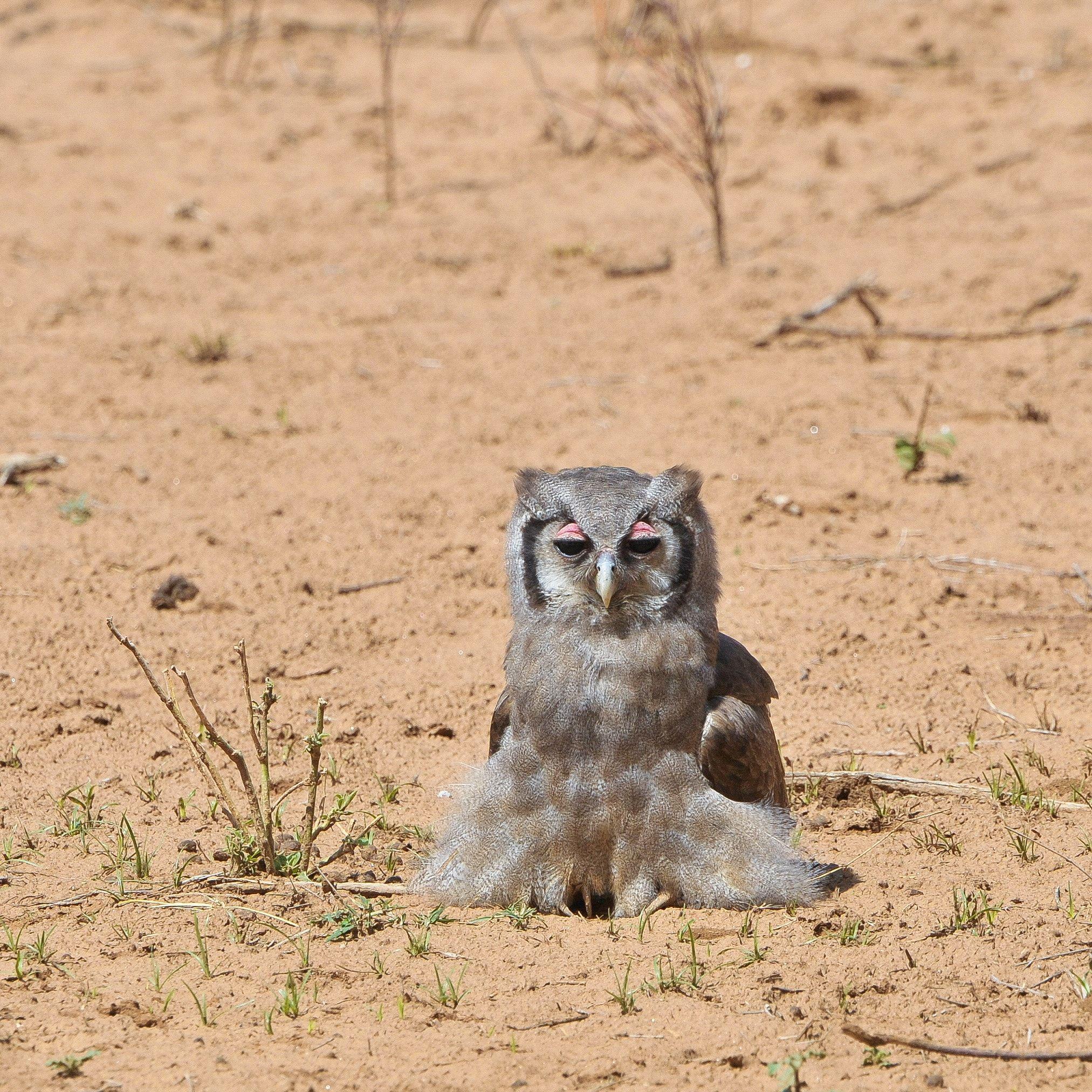 Samburu Verraux Eagle Owl A Sand Bath Bubo Lacteus Also