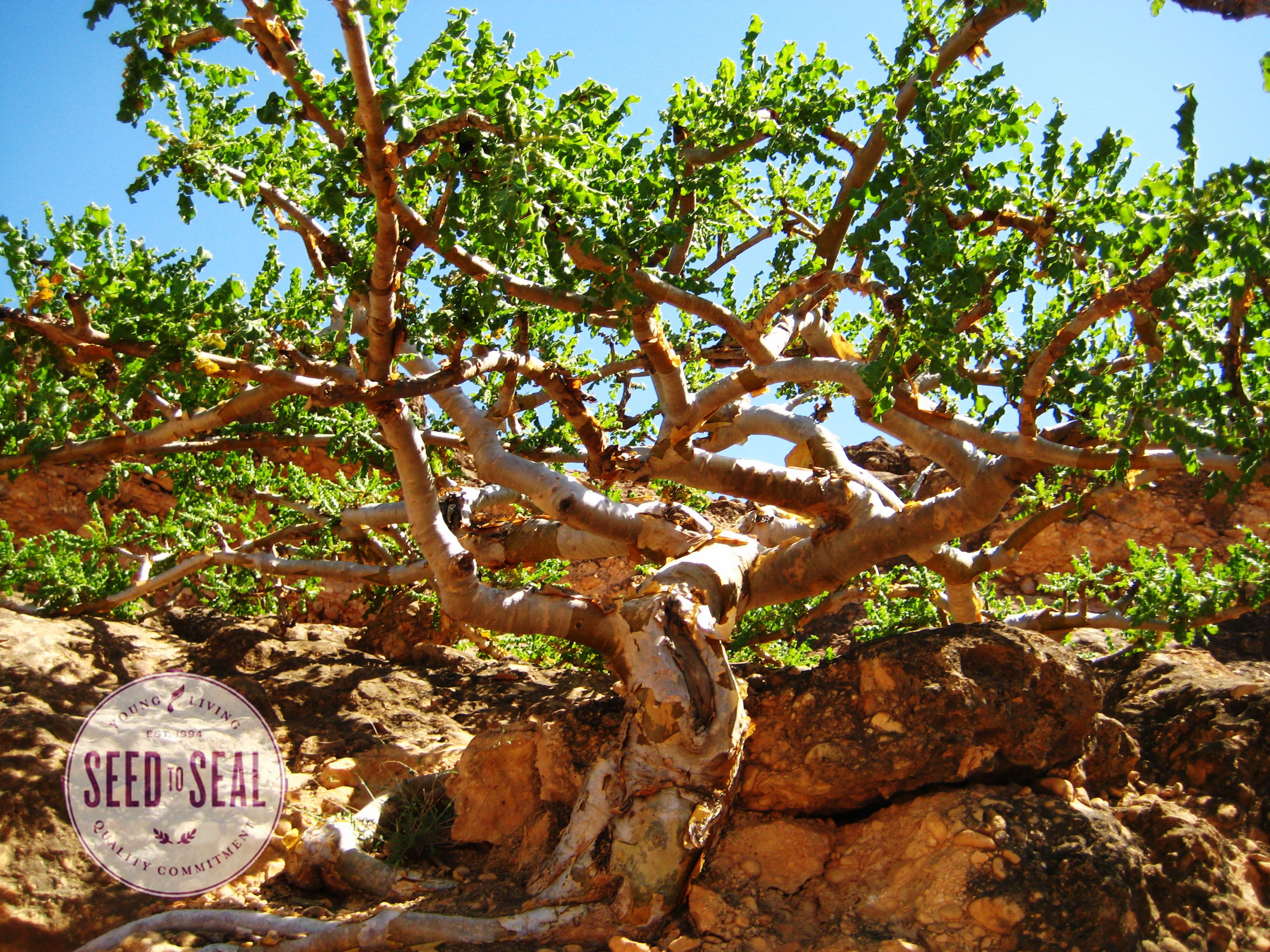 Pin on Frankincense - Young Living Co-op Oman Farm