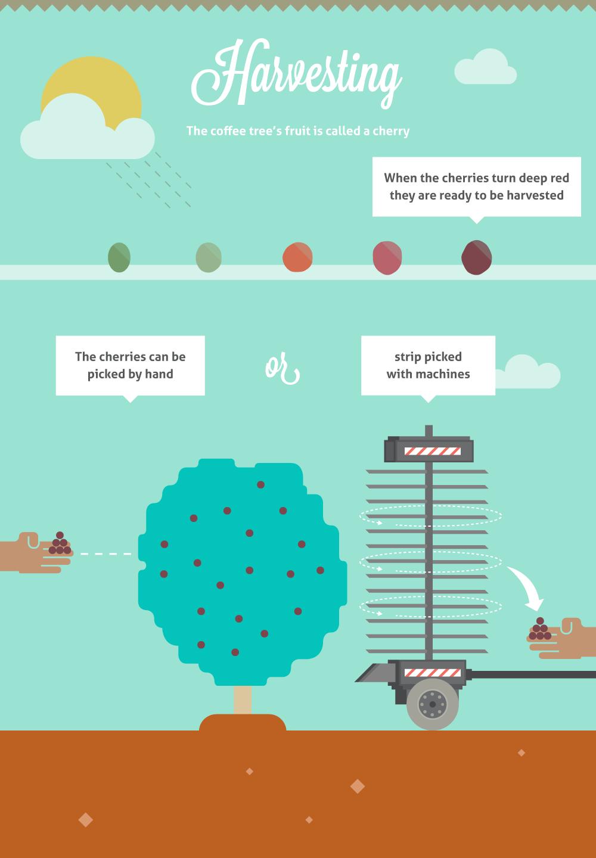 coffee bean process info graphics digital moving Coffee