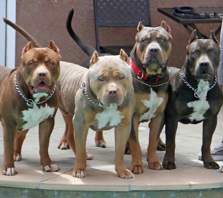 group Pitbull terrier, Dogs, American pitbull