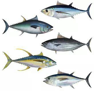 BlackFin, Bluefin, Bonito, Albacora, YellowFin...  Tuna