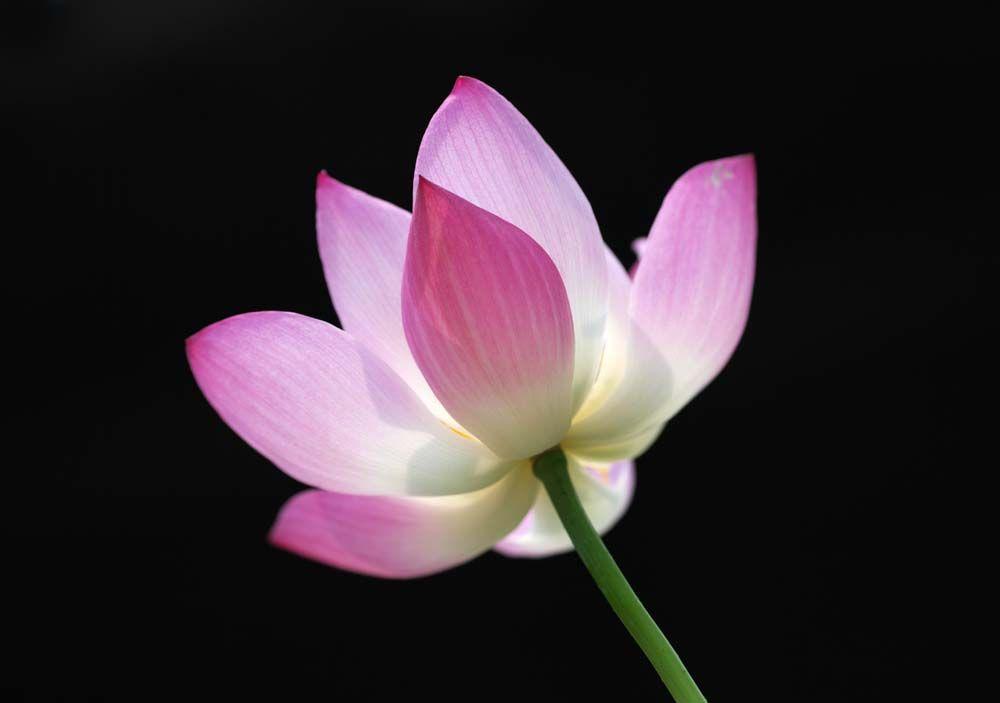 写真 素材 無料 フリー フォト クリエイティブ コモンズ 風景 壁紙 拙政園のハス 花弁 ハス 蓮 庭園 Fleur De Lotus Fleurs Lotus