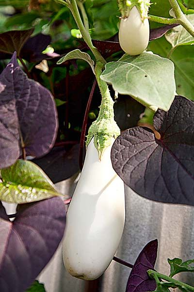 White Easter Egg Eggplant And A Deep Burgundy Sweet Potato Vine Make For Clic Black Pairing Photo Ann Summa Thisoldhouse