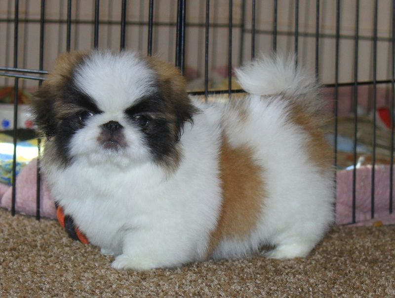 We Are Breeders In Akron Ohio We Are Not A Kennel Our Puppies Are