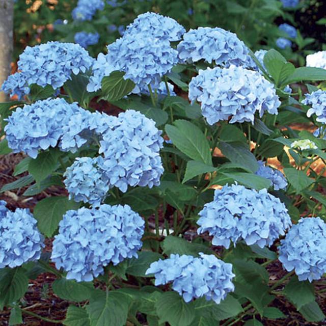 Mini Penny Hydrangea Hydrangea Care Plant Order Hydrangeas For Sale