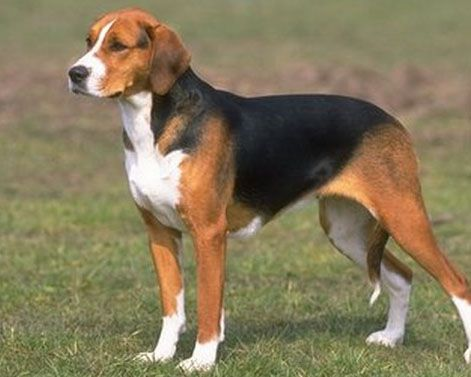 A Foxhound Is A Type Of Large Hunting Hound Foxhounds Hunt In