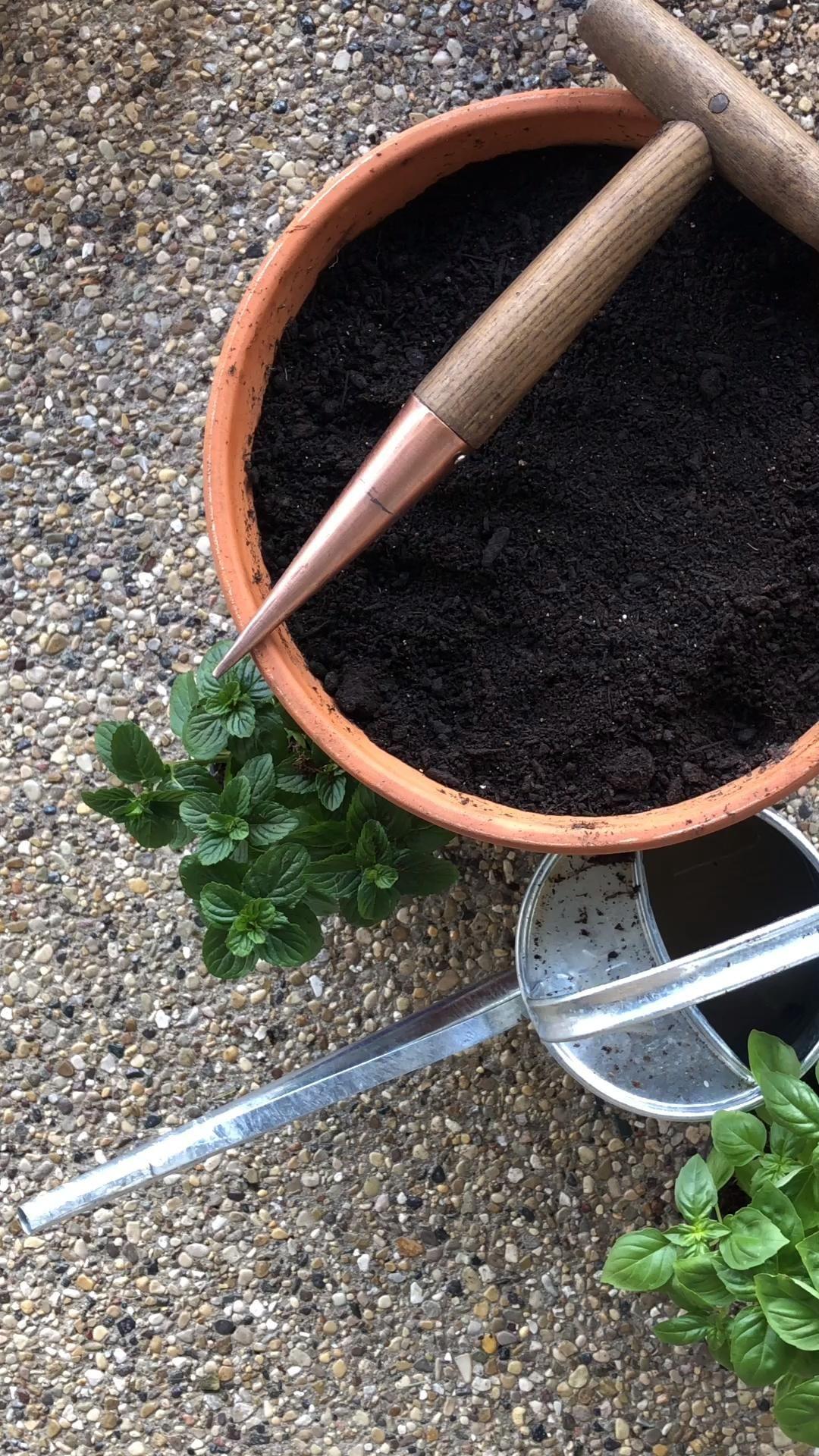 Basil Growing Tips