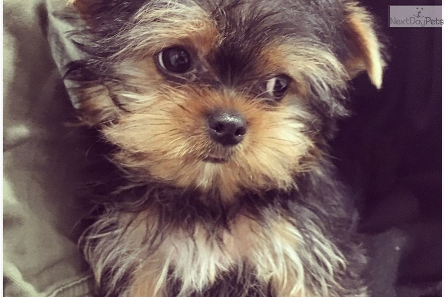 Yorkshire Terrier Yorkie Puppy For Sale Near Los Angeles California 4fd5b54e 9811