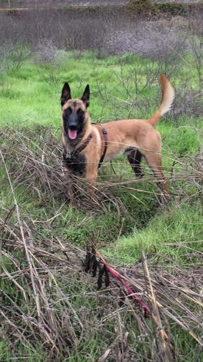 Pin By Brian On Belgium Malinois Belgian Malinois Dog Malinois Dog Belgian Malinois