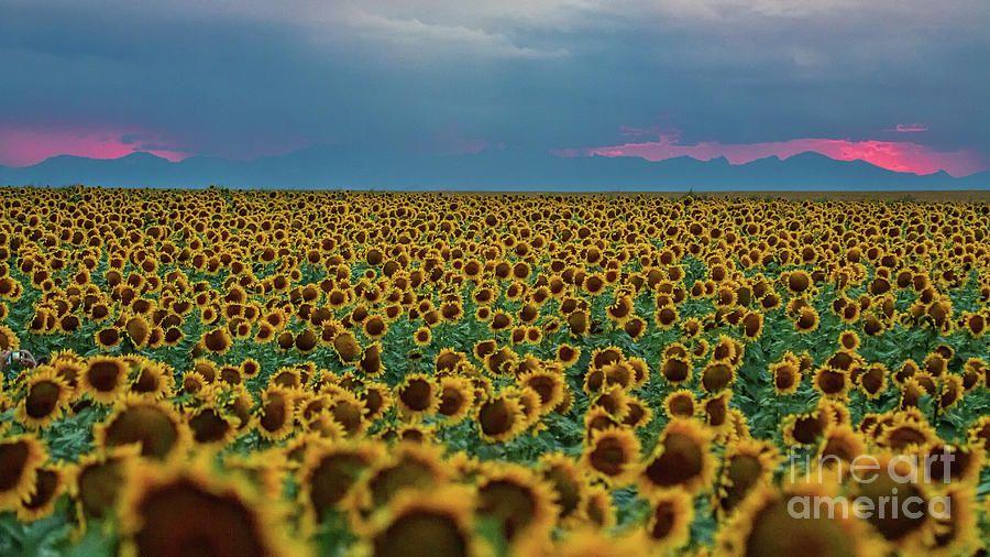 Sunflower Fields Photograph - Evening In The Fields by Jim Garrison