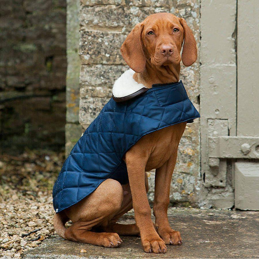 Vizsla Winter Coat Uk Goldenacresdogs