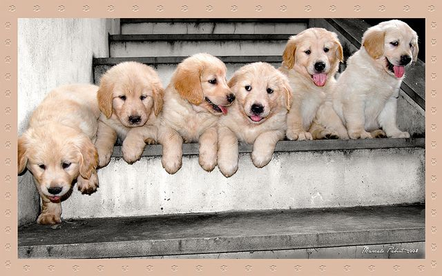 Little Stairs Of Golden Puppies Puppies Dog Rules Cute Animals