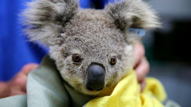 Los Millones De Koalas Y Otros Animales Que Han Resultado Afectados Por Los Incendios En Australia Animals Australian Animals Animal Rescue