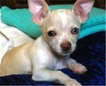 Chihuahua Puppies For Free Teacup Female Chihuahua Puppy For