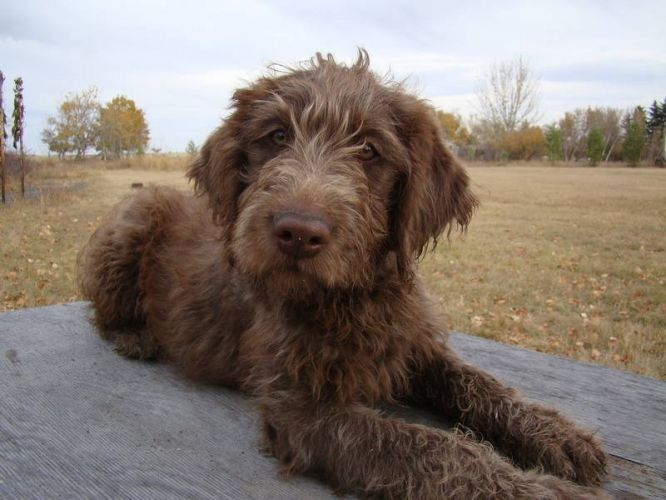 Chocolate Labradoodle Labradoodle Goldendoodle Chocolate