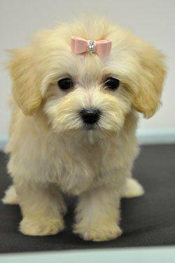 Maltipoo Pupppies For Sale Cassie S Closet Maltipoo