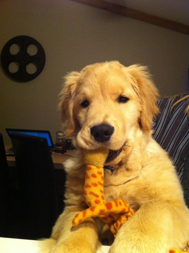 Ray Charles The Blind Golden Retriever Puppy Dogs Golden