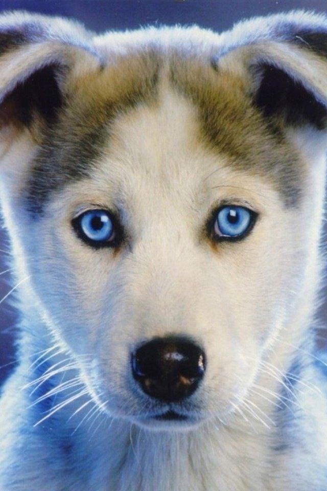 Huskie Cute Husky Puppies Beautiful Dogs Blue Eyed Dog