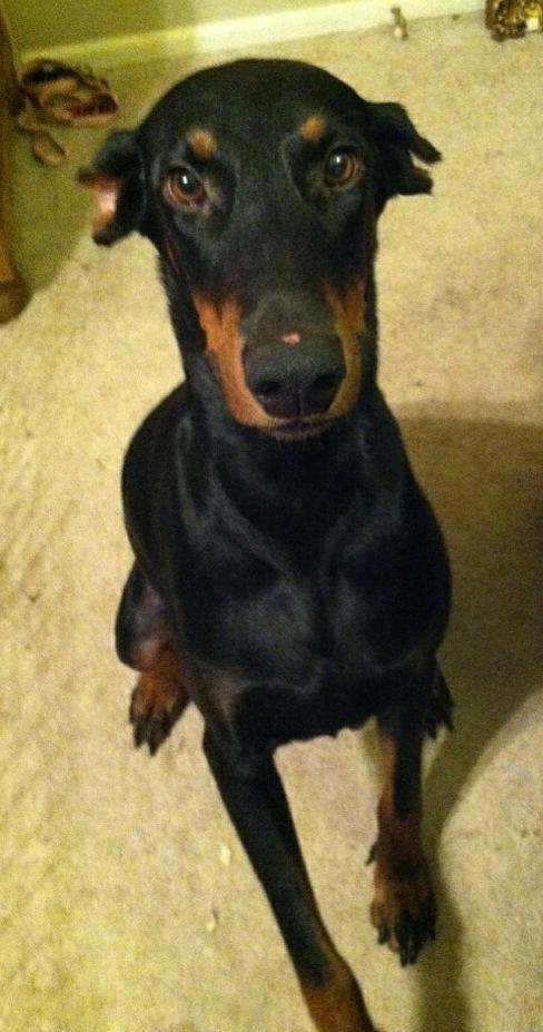 Adopt Gracie On Doberman Pinscher Doberman Doberman Dogs