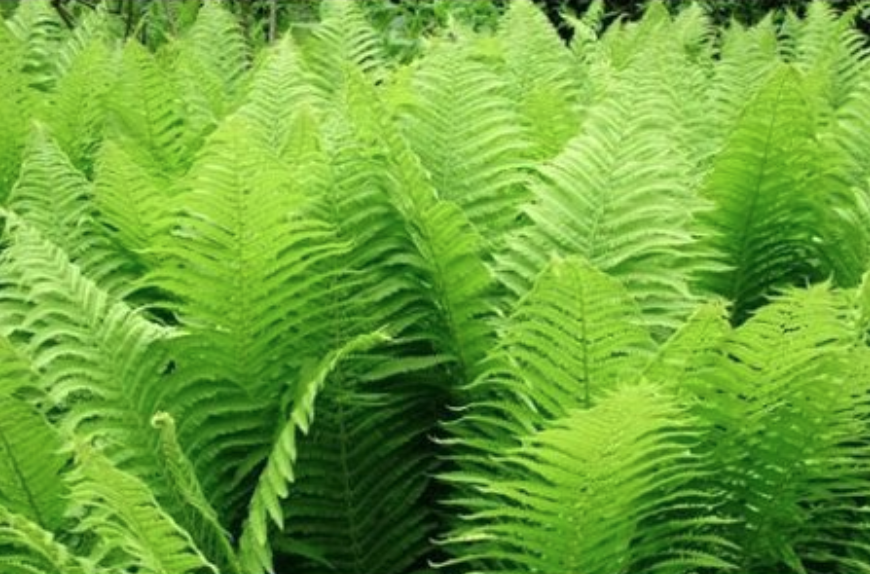 21 Best Ferns for Your Garden is part of Water garden plants, Ostrich fern, Ferns garden, Plants, Fern plant, Garden plants - Best ferns for a yard with deep shade or water retention  A yard with deep shade that prevents grass from growing  bald spots in your lawn under trees