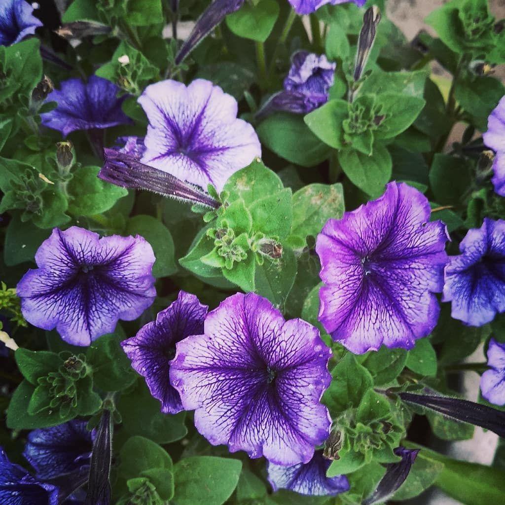 Petunia Grandiflora Flower Petunia Is Genus Of 20 Species Of Flowering Plants Of South American Origin The Popul Popular Flowers Planting Flowers Petunias