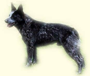 Australian Stumpy Tail Cattle Dog With Images Cattle Dog Austrailian Cattle Dog Rare Dogs