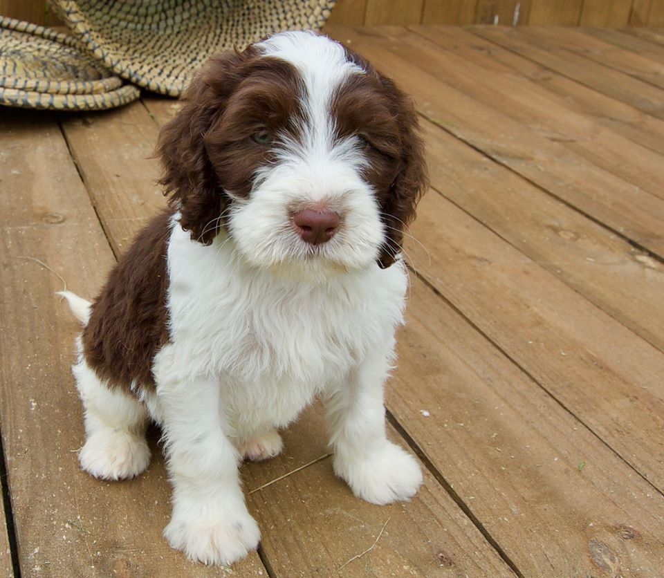 Loveable Springerdoodle Pups For Sale Http Springerdoodles Com Springerdoodle Sproodle Puppies Springer Spaniel Puppies