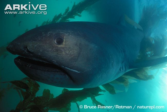 The megamouth shark (Megachasma pelagios) is one of the most mysterious and least understood of all the sharks. It was first recorded in 1976 and is so different from other shark lineages that it has been placed in its own family: Megachasmidae. Megamouth sharks can reach over 5 metres in length; the head is large with a short snout and, as the name would suggest, an extremely large mouth. The mouth contains over 50 rows of very small, hooked teeth.