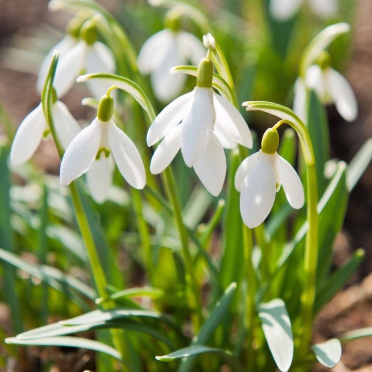 50 Single Snowdrop Bulb Large Flowering Freshly Lifted Ready Etsy Plants Smoke Tree Pallets Garden