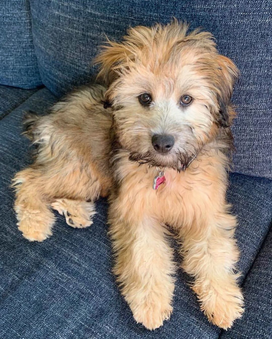 Pin By Marissa Young On Dogoz Whoodle Dog Whoodle Puppy Cute