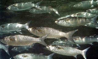 Ampuh Bawal Malam Hari Ikan Emas Ikan Patin Lele Lele Siang Hari Racikan Umpan Rahasia Umpan Resep Umpan Umpan Jitu Galatama Umpan Jitu Galatam Ikan Tahu Kolam