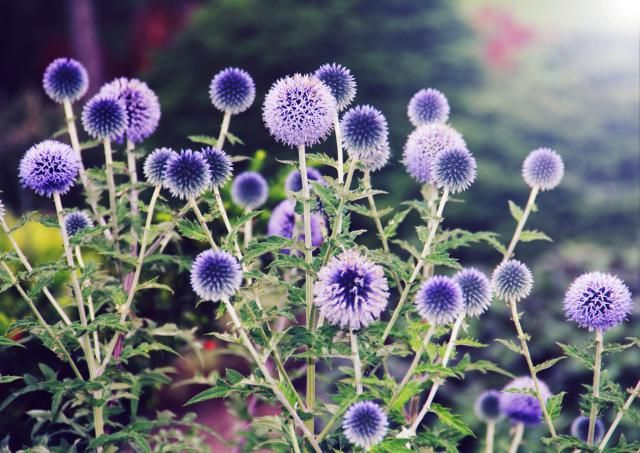 10 no fuss perennials for the lazy gardener low for Best low growing flowering perennials